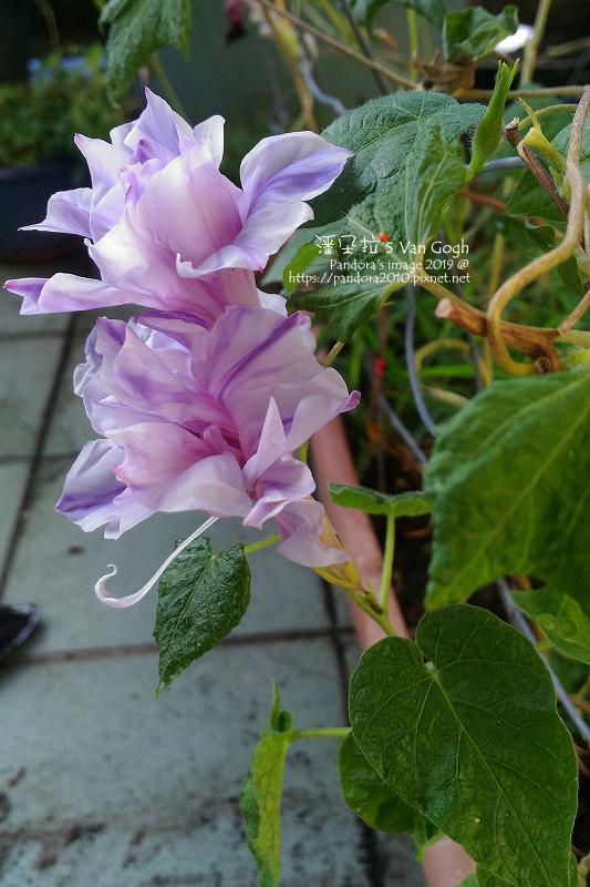 2019.09.13-朝顏。紫縞采咲#10#11-03.jpg