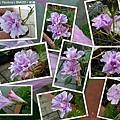 2019.08.31-重瓣粉紫.jpg