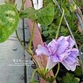 2019.09.02-朝顏。紫縞采咲#03-02