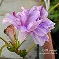 2019.09.02-朝顏。紫縞采咲#03-04