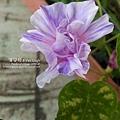2019.09.03-朝顏。紫縞采咲#04