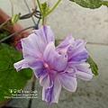 2019.09.03-朝顏。紫縞采咲#04-05
