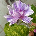 2019.09.03-朝顏。紫縞采咲#04-04