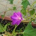 2019.09.03-朝顏。富士之紫紅#04-03.jpg