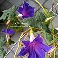 2019.09.05-朝顏。紫獅子#38#39#40.jpg