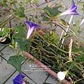 2019.09.05-朝顏。紫獅子#38#39#40-02.jpg