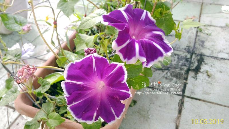 2019.10.05-朝顏。富士之紫#8#9.jpg