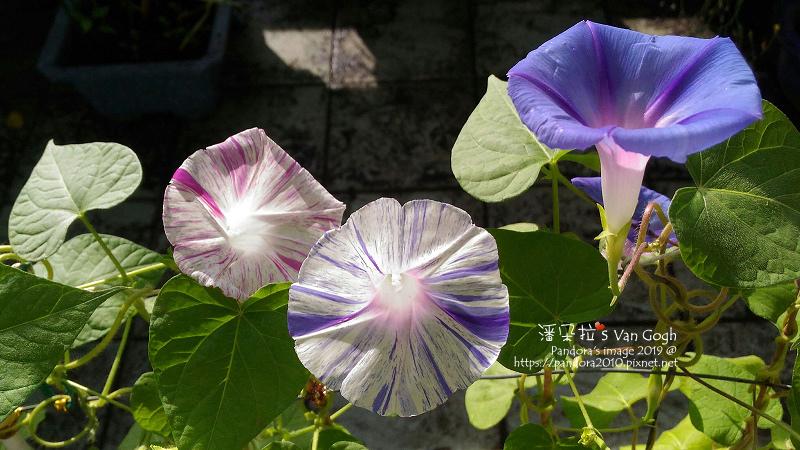2019.10.30-西洋朝顏。嘉年華粉#003、嘉年華藍#001、藍星#008-3.jpg