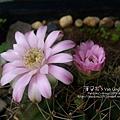 2019.04.23-仙人掌花#01-Day02-3.jpg