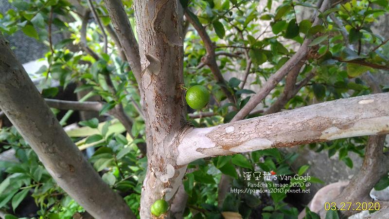 2020.03.27-樹葡萄。果實-.jpg