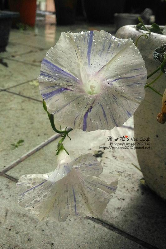 2020.03.28-西洋朝顏。嘉年華藍-1#19.jpg