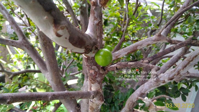 2020.03.30-樹葡萄。果實-2.jpg