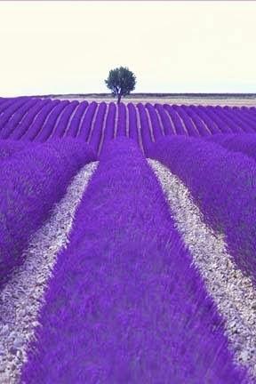 紫花田中樹