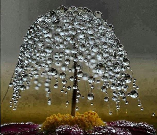 Miniature Dewdrop Tree_