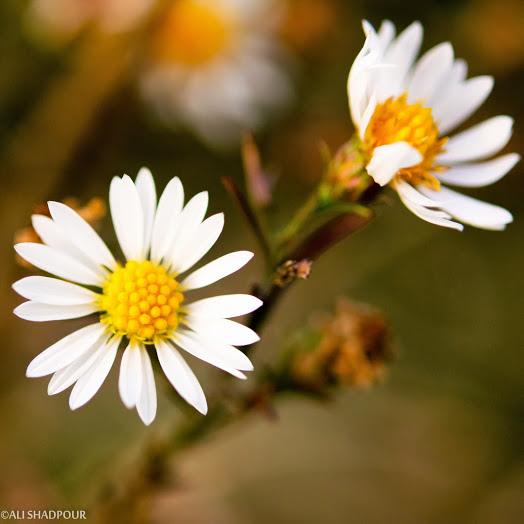 flower077_20131105_Ali Shadpour
