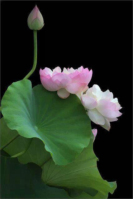 flower150_20131202_Kemimi 女巫 神奇夢幻天之瞳