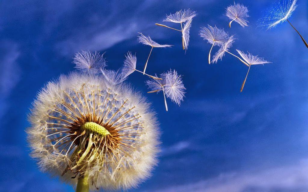 flying-dandelion-seed-free-desktop-wallpaper-1920x1200
