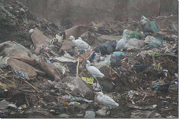 垃圾堆中的白鷺鷥