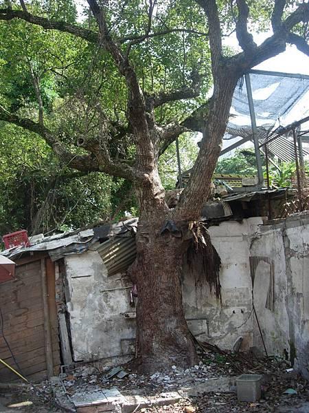 2013樟樹