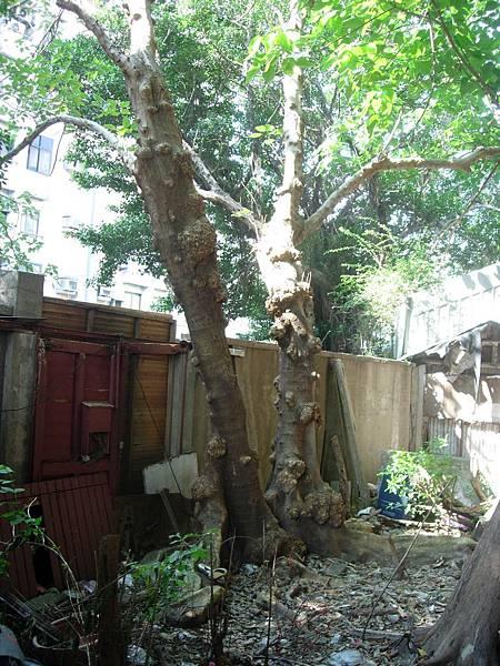 2013有板根的構樹