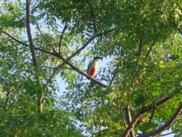 台東都蘭八色鳥