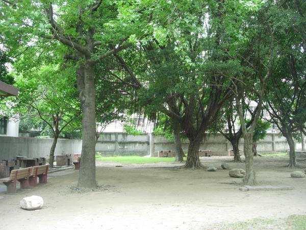 高大楓香+校長口中很陰的榕樹