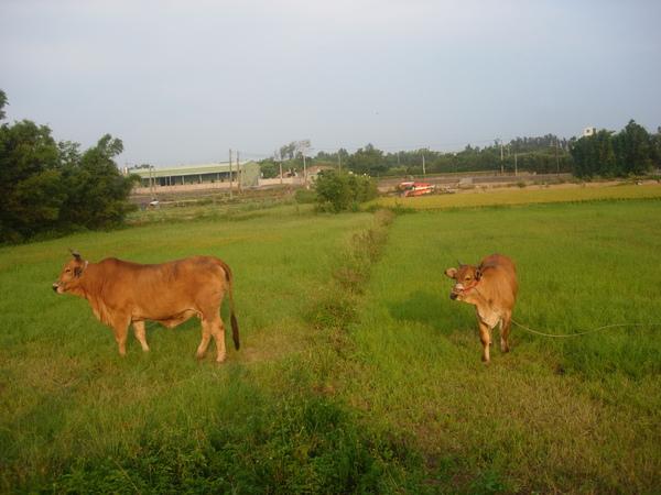 母牛與小牛.JPG