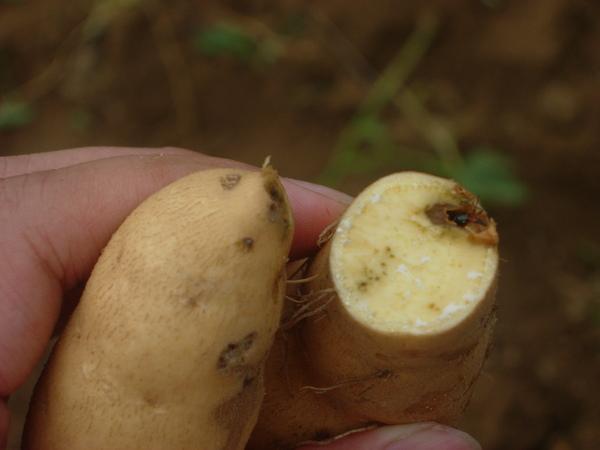 蕃薯-象鼻蟲.JPG
