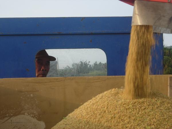 稻穀採收.JPG