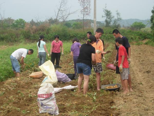 採蕃薯-農村小孩集體勞動