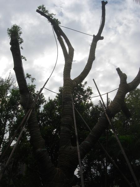 老樟樹不成樹形