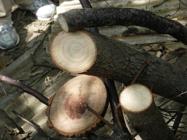 老樟樹病理切片-左側已爛心