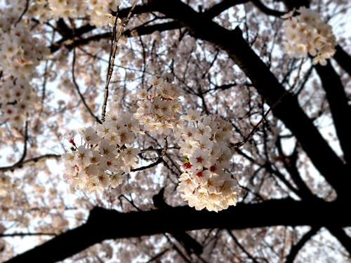 美不勝收的櫻花