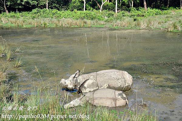 奇旺國家公園(Chitwan National Park)中的印度獨角犀牛