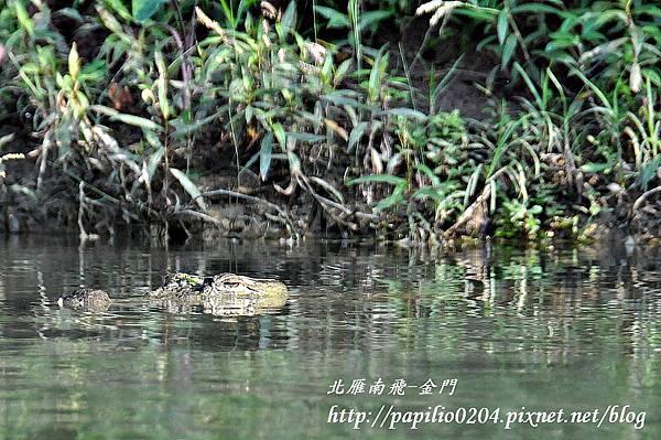 奇旺國家公園(Chitwan National Park)雷布提河(Rapti River)中的鱷魚
