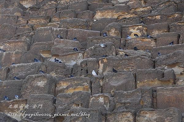 古夫金字塔上的鴿子群
