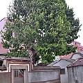 玉蘭花百年老樹