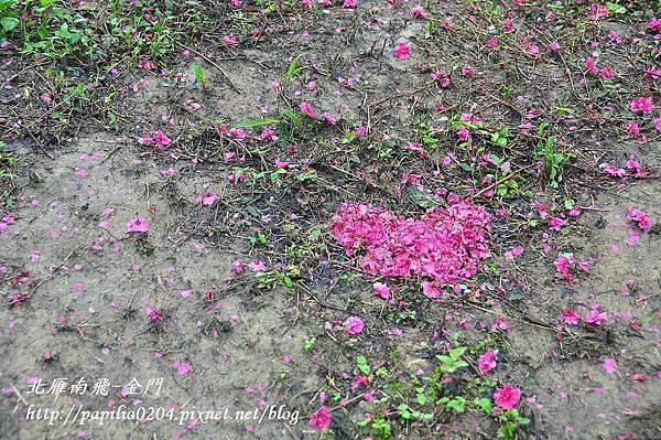 大坑濁水巷櫻花林中的用八重櫻排出的愛心