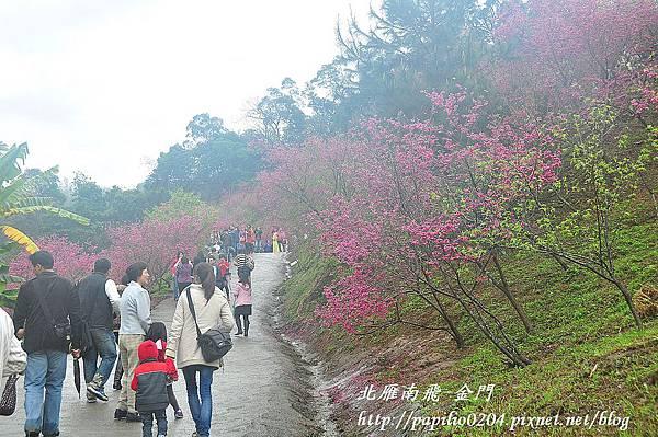 大坑濁水巷櫻花林主要步道賞櫻人潮