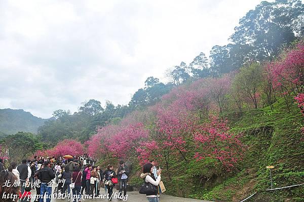 大坑濁水巷櫻花林賞櫻人潮