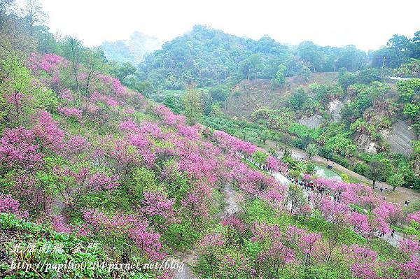 觀景台俯瞰大坑濁水巷櫻花林