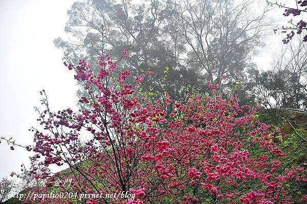 雲霧中的大坑濁水巷櫻花林