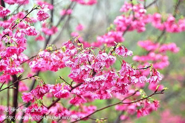 大坑濁水巷櫻花林的八重櫻