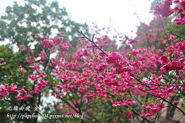 大坑濁水巷櫻花林
