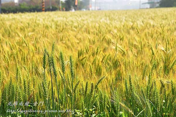 大龍麥沿線麥田景觀