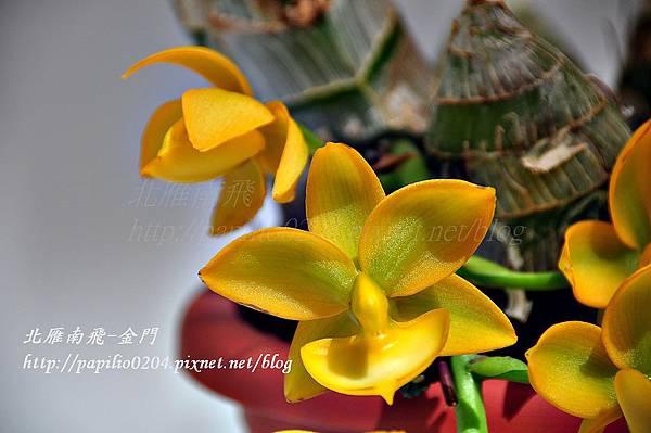 競豔館-Cyed. Taiwan Gold 'ORCHIS'
