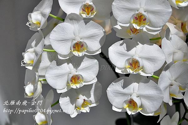 競豔館-Phal. amabilis