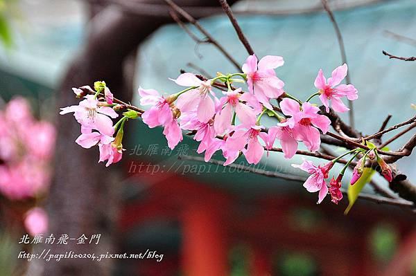 永靜公園櫻花