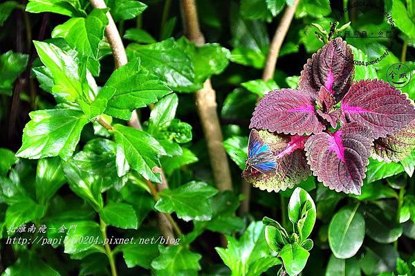 鐵木萊異小灰蝶