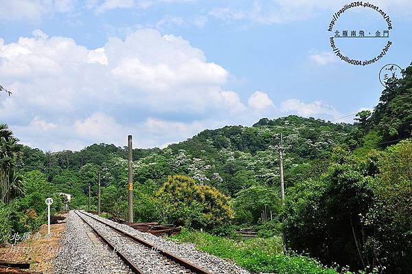 舊山線鐵道旁的油桐花